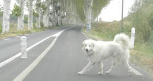 chien divague